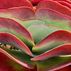 Kalanchoe luciae Flapjack cactus succulent