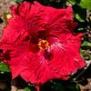 Hibiscus (7)