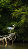 Guarding his Perch.  A tri-color heron protects his resting spot on a dead tree.