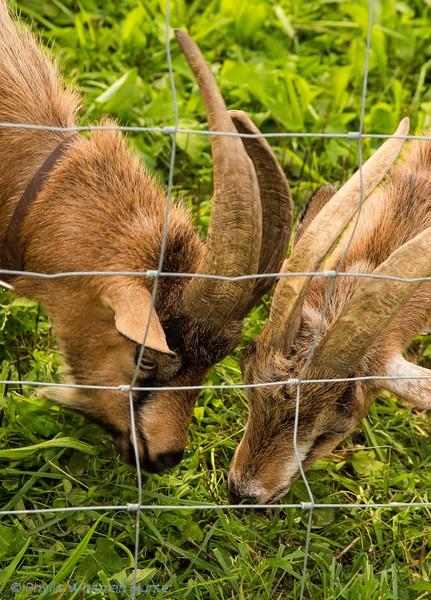 Brothers Sharing   Frannies Farm