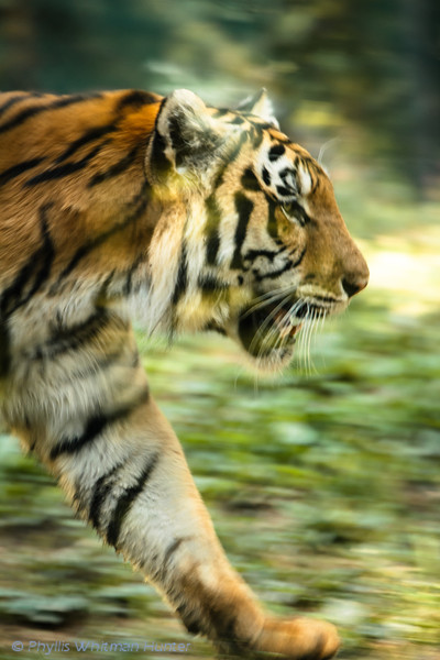 On the Move.  This image barely captures the focus, speed, and intensity of this pacing tiger.