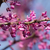 Redbud and Blue Sky