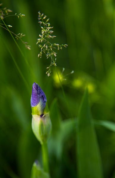 Iris and Timothy Grass II