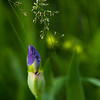 Iris and Timothy Grass II