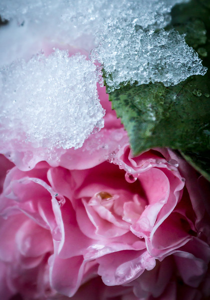 Icey Pink