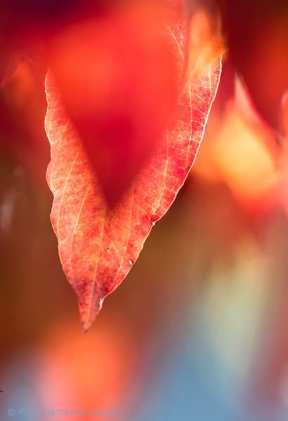Pour of Color.   The edges of a dogwood leaf are highlighted against a background of fall color and blue sky.
