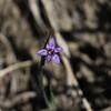 Bleue-Eyed Grass