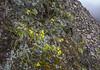 Brassica napus var. oleifera