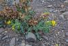 Papaver gorgoneum