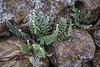 Cheilanthes catanensis