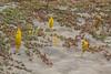 Cistanche phelypaea parasites on the Aizoaceae, Sesuvium portulacastrum