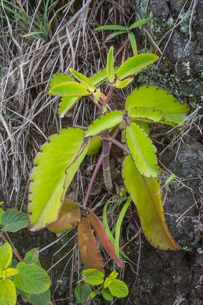 Kalanchoe lexiflora