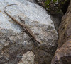 Hemidactylus spec