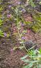 Echium stenosiphon ssp. stenosiphon