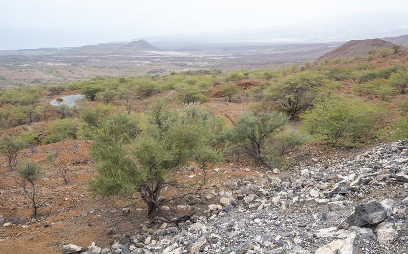Acacia spec