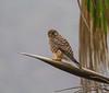 Falco tinnunculus or ssp. neglectus ?