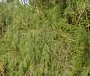 Casusarina equisetifolia