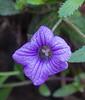 Campanula jacobaea