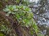 Aeonium gorgoneum