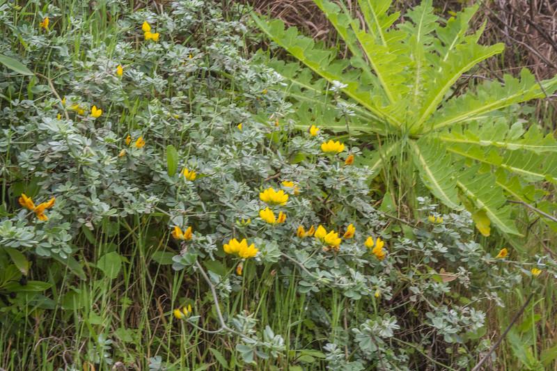 Lotus arborescens and Sonchus daltonii
