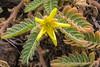 Tribulus cistoides