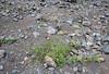 Lavandula rotundifolia