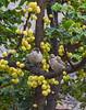 Passer iagoensis and Phyllanthus acidus