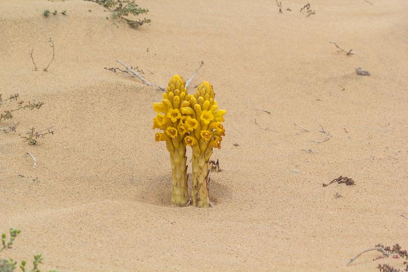 Cistanche phelypaea