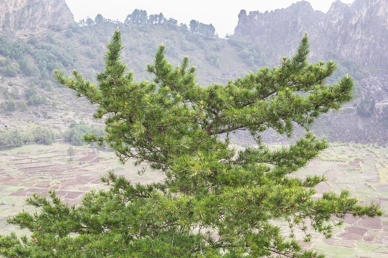 Pinus canariense, nigra ?