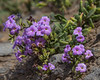 Campylanthus glaber ssp. spathulatus