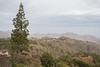 Pinus canariense