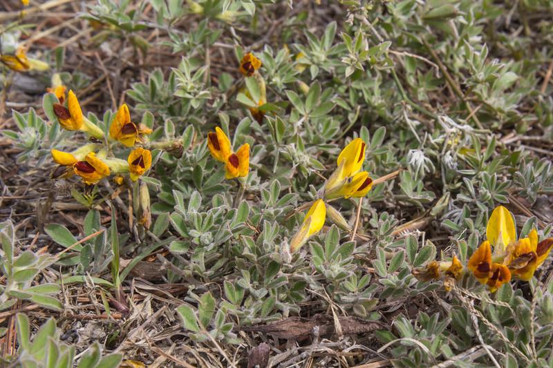 Lotus arborescens