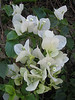 Bougainvillea glabra (white coloured form)