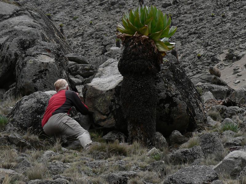 take a picture of Dendrohyrax arboreus (tree-hyrax)