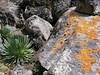 Lobelia telekii and lichen: Xanthoria elegans