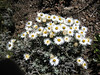 Helichrysum brownei