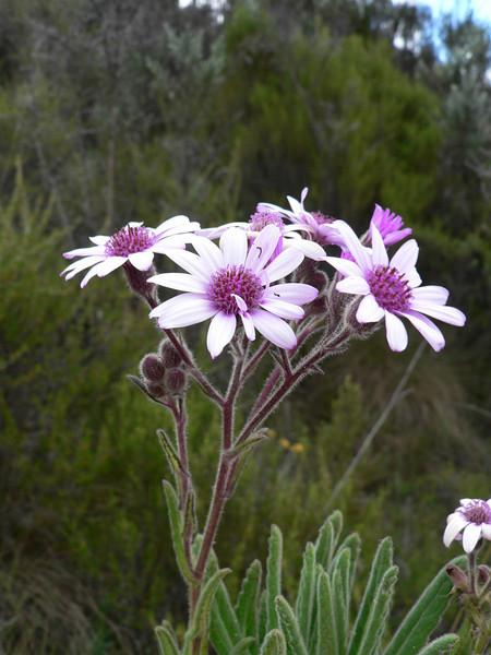 Senecio roseiflorus