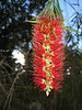 Callistemon citrinus var.splendens (bottle brush tree native to Australia)