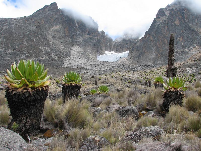 Senecio keniodendron (Mnt. Kenya N.P.)