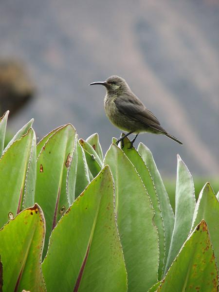 Nectarinia kilimensis (bronze sunbird)