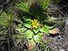 Haplocarpha rueppellii