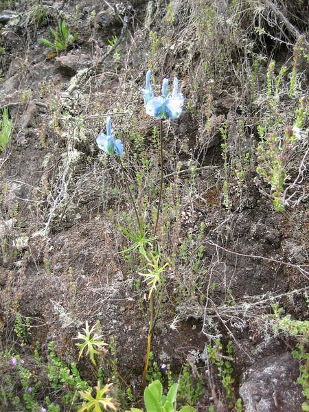 Delphinium macrocentron (Battiscombei valley)