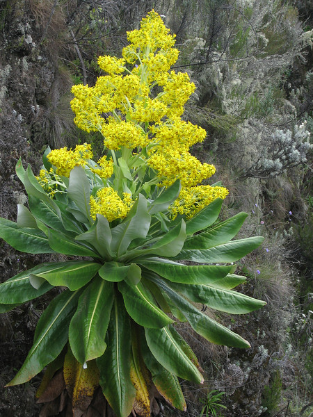 Senecio johnstonii ssp. battiscombei