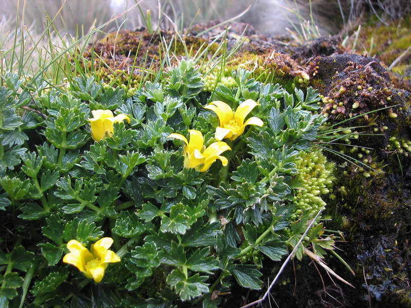 Ranunculus oreophytus