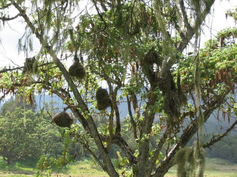 nests of weverbirds