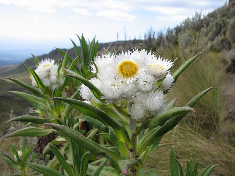 Helichrysum argyranthum