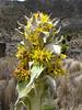 Senecio keniensis ssp. brassica