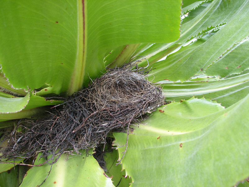 Nest of Nectarinia johnstoni