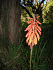 Kniphofia thomsonii (Habitat red-hot poker)
