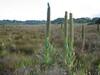 Lobelia aberdarica (Habitat Mount Kenya mountains)